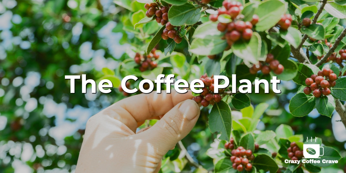 The Coffee Plant