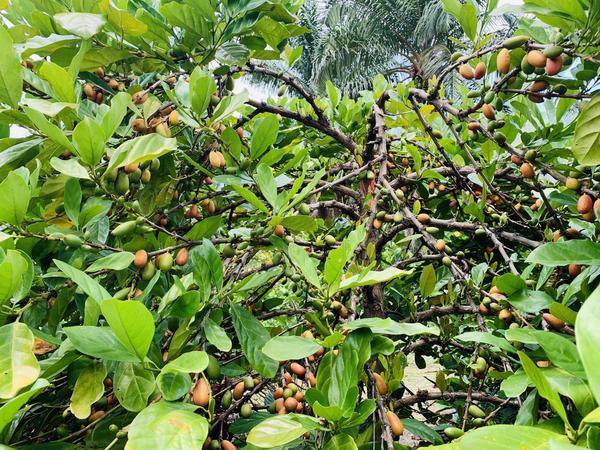 Liberica coffee plant