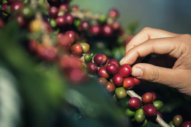 hands that are picking coffee beans from coffee tree 1150 5759