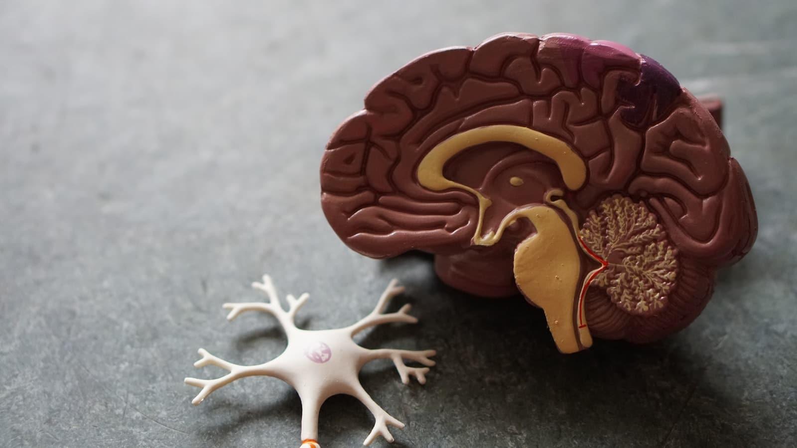human brain toy